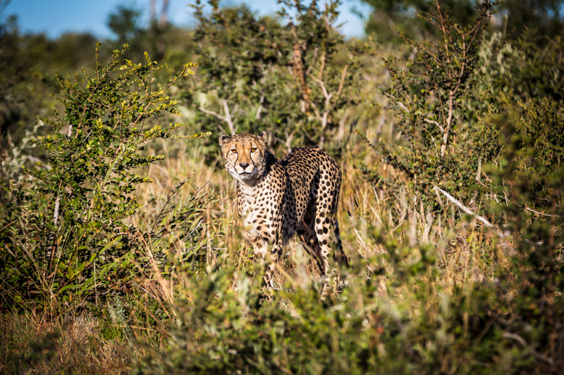 Observing Cheetah | Madikwe Game Reserve, South Africa by Robert Metz