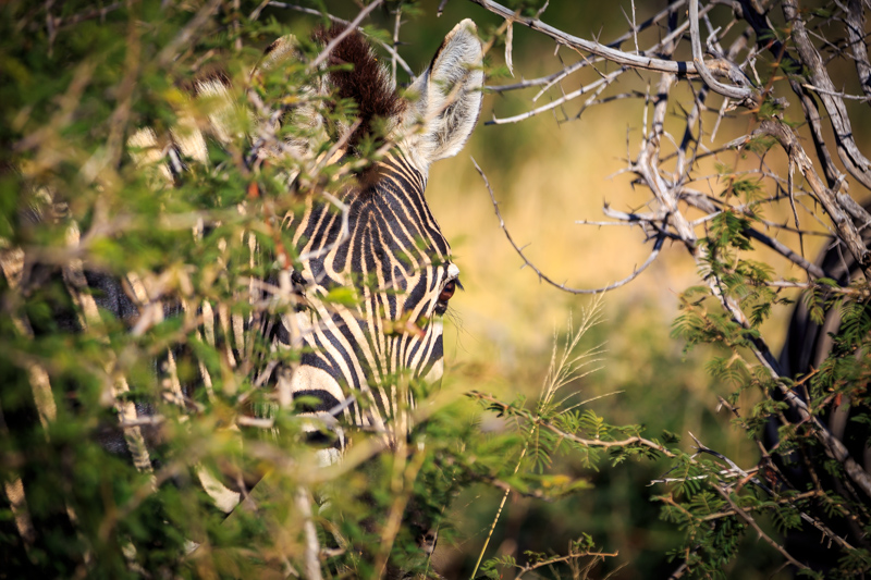Hidden Glances of a Zebra | Madikwe Game Reserve, South Africa by Robert Metz