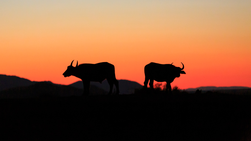 Buffaloes at Sunset | Madikwe Game Reserve, South Africa by Robert Metz