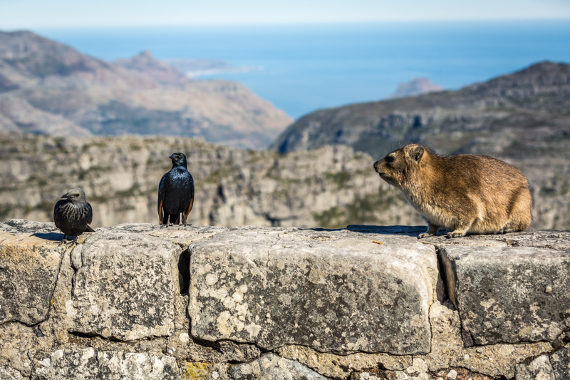 Red-Winged Starlings and a Dassie | Cape Town, South Africa by Robert Metz