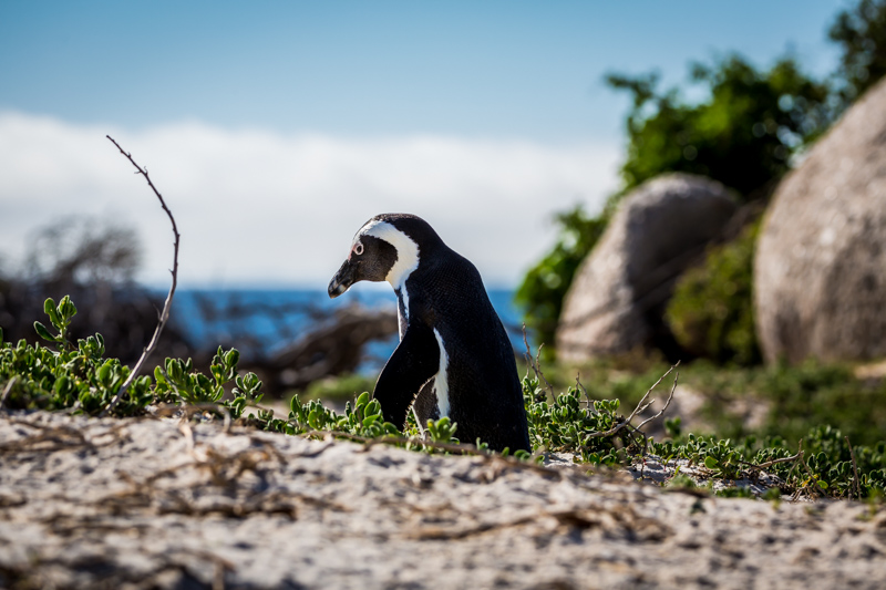 Walking  Penguin | Boulders Beach, South Africa by Robert Metz