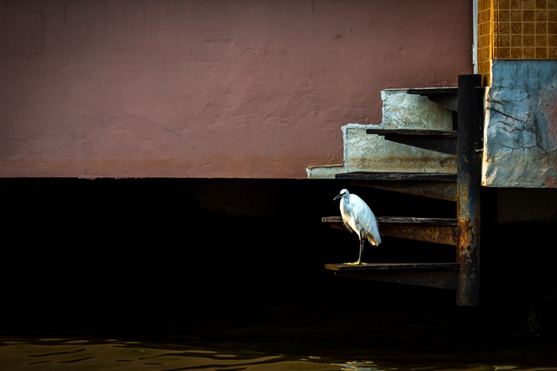 Great Egret in the Khlongs | Bangkok, Thailand by Robert Metz