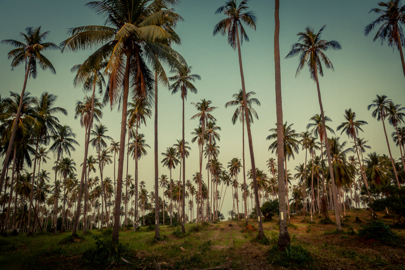 Palms | Ko Mak, Thailand by Robert Metz